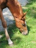 Fermez-vous vers le haut du poulain brun mangeant l'herbe Photo stock
