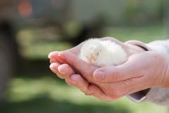 Fermez-vous vers le haut du poulet deux jaune nouveau-né sur la main de la femme et sur le fond naturel Images stock