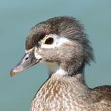 Fermez-vous vers le haut du profil d'un canard en bois femelle images libres de droits