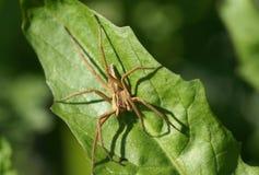 Fermez-vous vers le haut du projectile de l'araignée brune Photos libres de droits