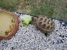 Fermez-vous vers le haut du réservoir de tortue de terre de bébé sur l'herbe verte dans la lumière ensoleillée avec la nourriture photographie stock libre de droits