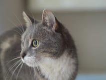 Fermez-vous vers le haut du regard triste de portrait somalien gris mignon de chat vers la droite Images libres de droits