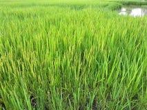 Fermez-vous vers le haut du riz non-décortiqué vert Rizière en Thaïlande Images libres de droits
