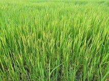 Fermez-vous vers le haut du riz non-décortiqué vert Rizière en Thaïlande Images stock