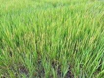 Fermez-vous vers le haut du riz non-décortiqué vert Rizière en Thaïlande Photo stock