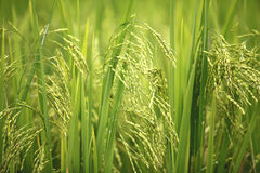Fermez-vous vers le haut du riz vert dans Sapa, Vietnam. Photos stock