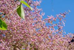 Fermez-vous vers le haut du roxb de tomentosa de congea, orchidée de douche est rose de grimpeur Images libres de droits