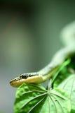 Fermez-vous vers le haut du serpent d'or d'arbre Image libre de droits