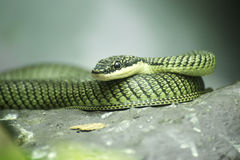 Fermez-vous vers le haut du serpent d'or d'arbre Images libres de droits