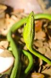 Fermez-vous vers le haut du serpent vert au nez long Photos stock