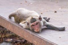 Fermez-vous vers le haut du singe dormant sur le plancher de ciment Images libres de droits