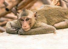Fermez-vous vers le haut du singe dormant sur le plancher de ciment Photographie stock