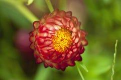 Fermez-vous vers le haut du strawflower Photos libres de droits