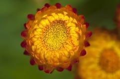 Fermez-vous vers le haut du strawflower Photographie stock