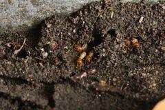 Fermez-vous vers le haut du termite Photo libre de droits