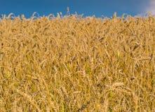 Fermez-vous vers le haut du tir du champ de blé jaune mûr sous le ciel bleu clair image libre de droits