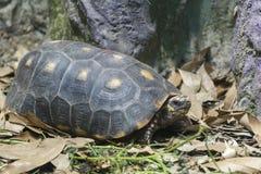 Fermez-vous vers le haut du tir d'une tortue sur un étang Photographie stock libre de droits