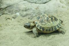 Fermez-vous vers le haut du tir d'une tortue sur un étang Image libre de droits