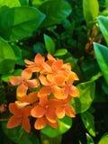 Fermez-vous vers le haut du tir de belles fleurs vibrantes d'Ixora Photo libre de droits