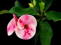 Fermez-vous vers le haut du tir de la couronne des fleurs de throns photographie stock