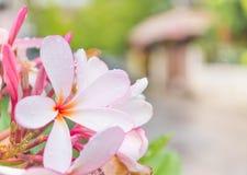 fermez-vous vers le haut du tir de la fleur de plumeria Photographie stock