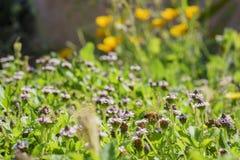 Fermez-vous vers le haut du tir de la fleur pourpre de fleur sauvage avec une fourmi Photos libres de droits