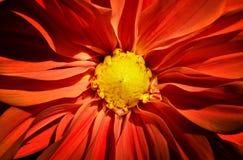 Fermez-vous vers le haut du tir de la fleur rouge de dahlia images libres de droits