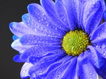 Fermez-vous vers le haut du tir de Violet Blue Daisy avec des baisses de pluie Photos libres de droits