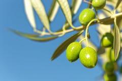 Fermez-vous vers le haut du tir des olives vertes sur une branche d'olivier image libre de droits