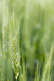 Fermez-vous vers le haut du tir du blé vert Images stock