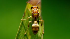 Fermez-vous vers le haut du tir du frelon à la feuille verte Photo stock