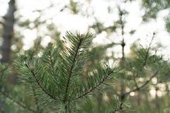 Fermez-vous vers le haut du tir lent des aiguilles du pin - for?t verte de pays baltique Lettonie photo stock