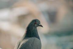 Fermez-vous vers le haut du tir principal du bel oiseau de pigeon d'emballage de vitesse Photos stock