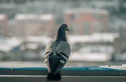 Fermez-vous vers le haut du tir principal du bel oiseau de pigeon d'emballage de vitesse Photographie stock