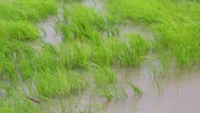 Fermez-vous vers le haut du tir du riz sur le champ avec ramollissent le vent banque de vidéos