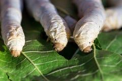 Fermez-vous vers le haut du ver à soie mangeant la feuille de mûre Photo stock