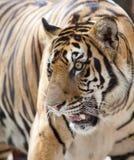 Fermez-vous vers le haut du visage d'un tigre Photos libres de droits