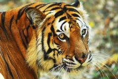 Fermez-vous vers le haut du visage d'un tigre Image stock