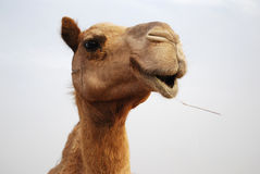 Fermez-vous vers le haut du visage de chameaux Images libres de droits