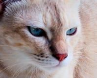 Fermez-vous vers le haut du visage de chat avec ses yeux bleus Photo stock