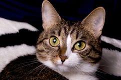 Fermez-vous vers le haut du visage de chats Photographie stock libre de droits