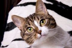 Fermez-vous vers le haut du visage de chats Photographie stock