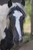 Fermez-vous vers le haut du visage de chevaux Photos stock