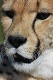 Fermez-vous vers le haut du visage de guépard Photos stock