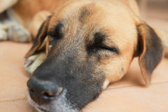 Fermez-vous vers le haut du visage de sommeil de chien Image stock