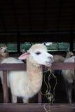 Fermez-vous vers le haut du visage des alpaga de lama dans la ferme Photographie stock libre de droits