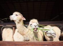 Fermez-vous vers le haut du visage des alpaga de lama mangeant l'herbe de ruzi que l'exposition plus bas sonnent Photos stock