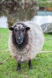 Fermez-vous vers le haut du visage des moutons mérinos de la Nouvelle Zélande dans le bétail rural fa Image libre de droits
