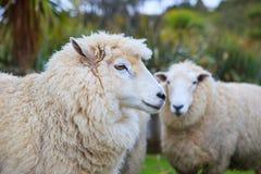 Fermez-vous vers le haut du visage des moutons mérinos de la Nouvelle Zélande dans le bétail rural loin Image stock