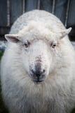 Fermez-vous vers le haut du visage des moutons mérinos de la Nouvelle Zélande dans le bétail rural loin Image libre de droits